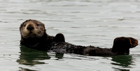 Otter at Rest