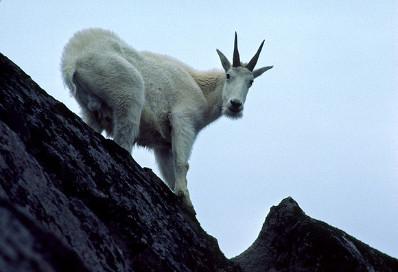 Mountain Goat on Dome Peak in the Cascades