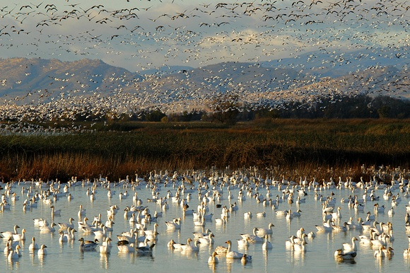 Migrating Snow Geese at Sacramento Wildlife Refuge