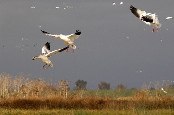 Snow Geese in Landing Approach