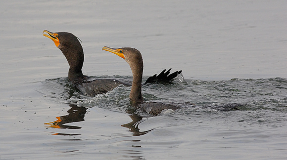 Double Crested Cormorant chases another with Pipe Fish