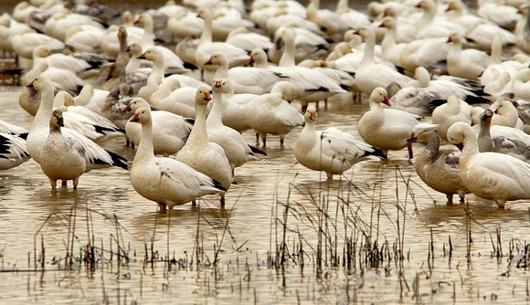 Flock of Snow Geese at Rest