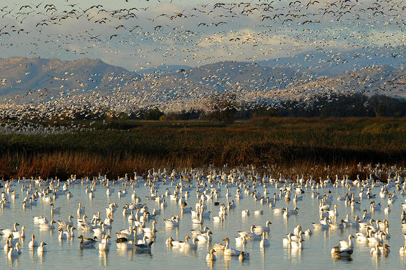 Migrating Snow Geese at the Sacramento Wildlife Refuge
