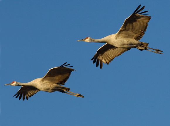 Sand Hill Cranes in Flight