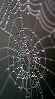 Dew Drops in a Spider's Web