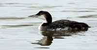 Loon on the Water