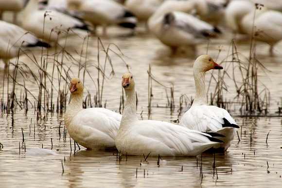 Three Snow Geese at Rest
