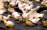 Snow Geese at Roust