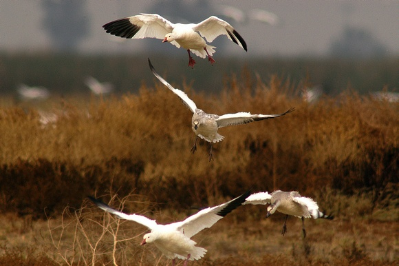 Snow Geese Landing at the Sacramento Wildlife Refuge