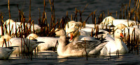 Snow Geese at Rest