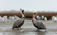 Male Pelican at Different Stages of Mating Plumage