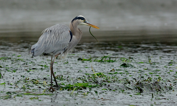 Heron Catches Pipe Fish at Elkhorn Slough
